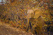 African bush elephant (Loxodonta africana) walking up from the fall colors bush in Kruger National park, South Africa
