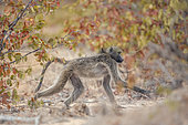 Chacma baboon (Papio ursinus) walking in fall colors savannah in Kruger National park, South Africa