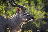 Greater kudu (Tragelaphus strepsiceros) male portrait in Kruger National park, South Africa