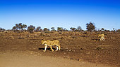 Two African lions (Panthera leo) walking in dry lowland in Kruger National park, South Africa