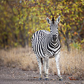 Plains zebra (Equus quagga burchellii) standing in fall color foliage background in Kruger National park, South Africa