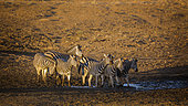 Small group of Plains zebra (Equus quagga burchellii) at waterhole at dawn in Kruger National park, South Africa