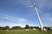 Wind farm, 6 wind turbines of 3 MW, meadow, Montbeliard cows, Chamole, Jura, France