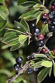 Mediterranean buckthorn (Rhamnus alaternus), fruits, Cap Negre, Six-Fours-les-Plages, Var, France