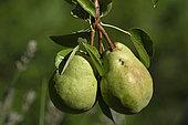 Pear tree (Pyrus communis) variety Bon Chretien Williams, fruits, orchard, Belfort, Territoire de Belfort, France