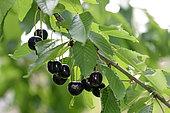 Cherry tree (Prunus cerasus), variety Chapendu, fruits, conservatory orchard, Ecomusee du Pays de la Cerise, Fougerolles-Saint-Valbert, Haute-Saone, France