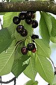 Cherry tree (Prunus cerasus), variety Noire des Argey, fruits conservatory orchard, Ecomusee du Pays de la Cerise, Fougerolles-Saint-Valbert, Haute-Saone, France