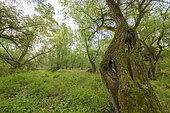 Forêt riveraine au printemps, Hesse, Allemagne