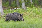 Wild boar, Sus scrofa, Female, Springtime, Hesse, Germany, Europe