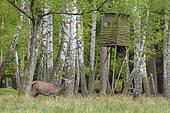 Red deer in front of hunting hide, Cervus elaphus, Female, Germany, Europe