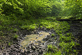 Wallow (from wild boars) in forest, Summer, Germany, Europe