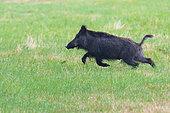 Wild boar on meadow, Sus scrofa, Female, Hesse, Germany, Europe