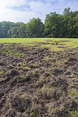 Game damage from wild boars on meadow, Germany, Europe