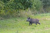 Wild boar on meadow, Sus scrofa, Tusker, Germany, Europe