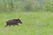 Wild boar on meadow, Sus scrofa, Young, Germany, Europe