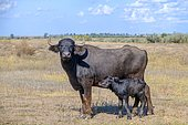 First day of life of a newborn calf Water Buffalo (Bubalus murrensis), Orlovka village, Reni raion, Odessa oblast, Ukraine, Europe