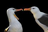 Albatros à sourcils noirs (Thalassarche melanophris) parade de bienvenue, Ile Saunders, Malouines