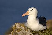 Albatros à sourcils noirs (Thalassarche melanophris) au repos, Ile Saunders, Malouines