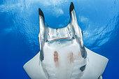 Sicklefin Mantas (Mobula tarapacana), Ambrosio dive site, Santa Maria Island, Azores, Portugal, Atlantic Ocean
