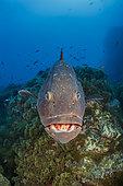 Dusky grouper (Epinephelus marginatus), Formigas Islet dive site, 27 miles northeast of Santa Maria Island, Azores, Portugal, Atlantic Ocean