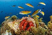 Hermit crab (Dardanus arrosor), with Shoal of Ornate wrasse (Thalassoma pavo), Santa Maria Island, Azores, Portugal, Atlantic Ocean