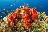 Great hermit crab (Dardanus arrosor). Santa Maria Island, Azores, Portugal, Atlantic Ocean