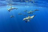 Atlantic spotted dolphins (Stenella frontalis), Formigas Islet dive site, 27 miles northeast of Santa Maria Island, Azores, Portugal, Atlantic Ocean