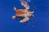Loggerhead turtle (caretta caretta) accompanied by pilotfish (Naucrates ductor) swimming near the surface. Vulnerable. Santa Maria Island, Azores, Portugal, Atlantic Ocean