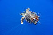 Loggerhead turtle (Caretta caretta) accompanied by pilotfish (Naucrates ductor) swimming near the surface. Santa Maria Island, Azores, Portugal, Atlantic Ocean