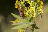 European Hornet (Vespa crabro) eating a Praying Mantis (Mantis religiosa), Lorraine, France
