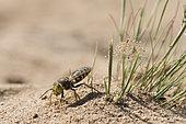 Digger wasp : Sand wasp (Bembix rostrata) digging, La Truchère Nature Reserve, Burgundy, France