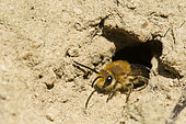 Ivy Bee (Colletes hederae) species of solitary bee making burrows in villages, active at the end of September, Lorraine, France