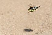 Digger wasp : Sand wasp (Bembix rostrata) carrying a leafhopper in flight, La Truchère Nature Reserve, Burgundy, France