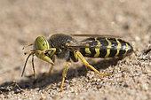 Digger wasp : Sand wasp (Bembix rostrata) on sand, La Truchère Nature Reserve, Burgundy, France