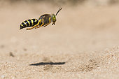 Digger wasp : Sand wasp (Bembix rostrata) in flight, La Truchère Nature Reserve, Burgundy, France