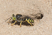 Digger wasp : Sand wasp (Bembix rostrata) clearing the entrance to his gallery, La Truchère Nature Reserve, Burgundy, France