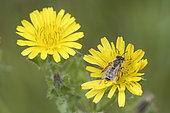 Yellow-legged Mining Bee (Andrena flavipes) on flowers, Lorraine, France