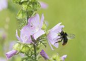 Early bumblebee (Bombus pratorum) female on Musk mallow (Malva moschata) flower, Lorraine, France