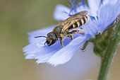 Solitary bee (Andrena sp) on Chicory flower (Cichorium endivia), Lorraine, France