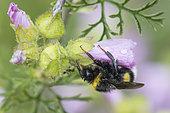 Buff-tailed Bumblebee (Bombus terrestris) on Mallow (Malva sp) flower, Lorraine, France