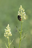 Red-tailed Bumblebee (Bombus -Melanobombus- lapidarius) on Mignonette flower, Vosges, France