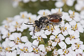 Sweat bee (Sphecodes albilabris) on Milfoil (Achillea millefolium), Lorraine, France