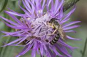 Great banded furrow-bee (Halictus scabiosae) on Knapweed (Centaurea sp) flower, Lorraine, France