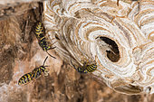 Common wasps (Vespula vulgaris) on their nest, Burgundy, France