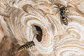 Common wasps (Vespula vulgaris) on their nest, Burgundy, France