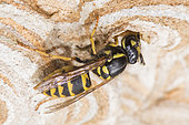 Common wasp (Vespula vulgaris) on its nest, Burgundy, France
