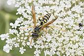 Paper Wasp (Polistes sp) on Wild carrots (Daucus carota) flowers, Lorraine, France