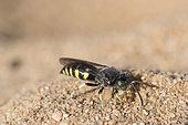 Digger wasp : Sand wasp (Bembecinus tridens) on sand, La Truchère Nature Reserve, Burgundy, France