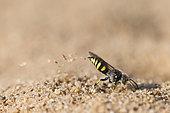 Digger wasp : Sand wasp (Bembecinus tridens) digging, La Truchère Nature Reserve, Burgundy, France