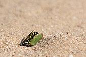 Digger wasp : Sand wasp (Bembecinus tridens) burying a leafhopper, La Truchère Nature Reserve, Burgundy, France